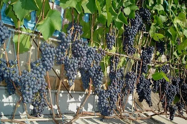 Описание и особенности винограда агат донской