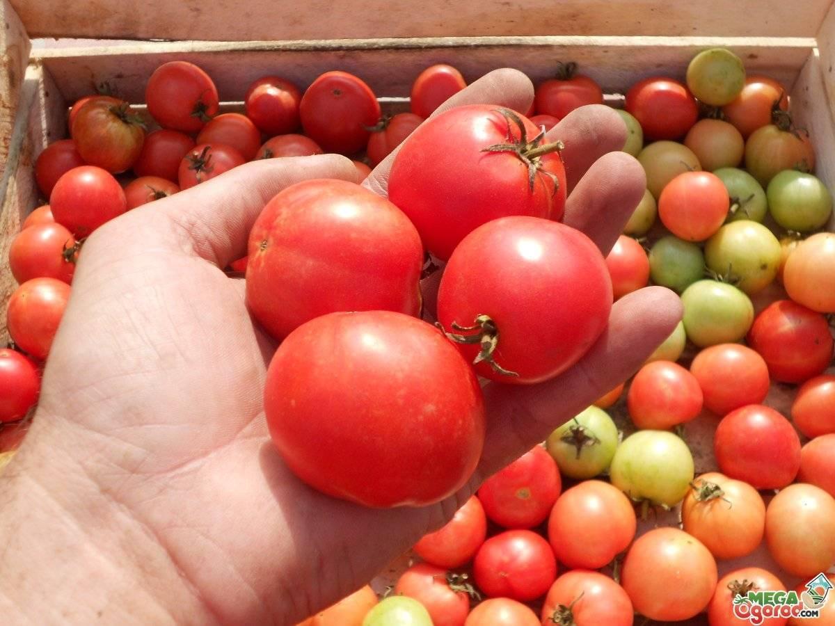 Томат сибирское яблоко: характеристика и описание среднеспелого сорта с фото