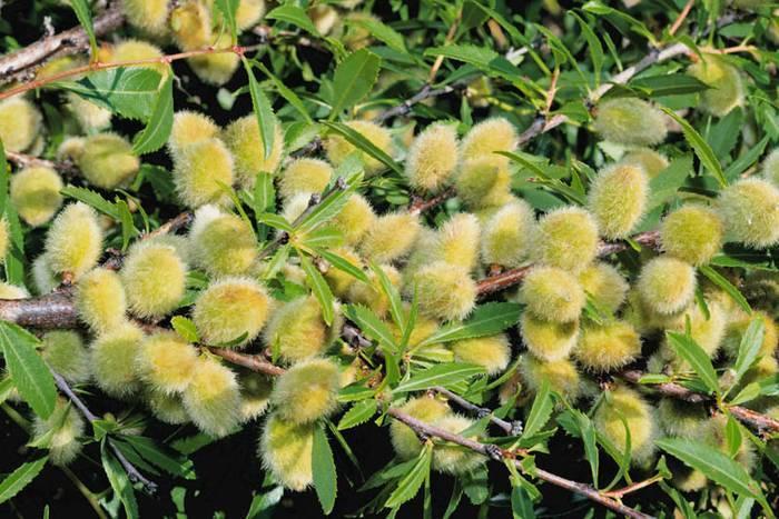 Декоративный кустарник миндаль: посадка и уход, фото деревца с нежными листочками, ярко-розовыми цветами и плодами-орешками