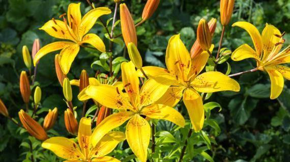 Особенности посадки и выращивания в открытом грунте лилии азиатской