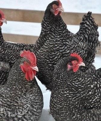 Описание и условия содержания кур породы феникс