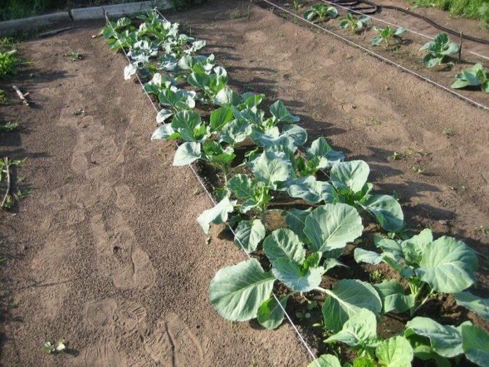 «ленивая» капуста, или выращиваем капусту без рассады