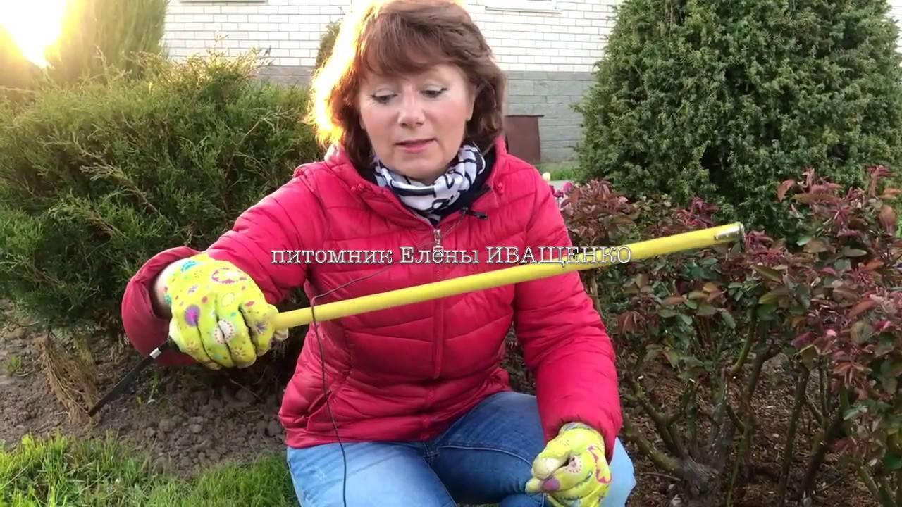 Описание и правила выращивания роз сорта Гранд Аморе