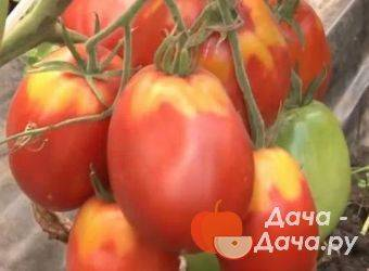 Описание сорта томата драгоценность, его характеристика и урожайность