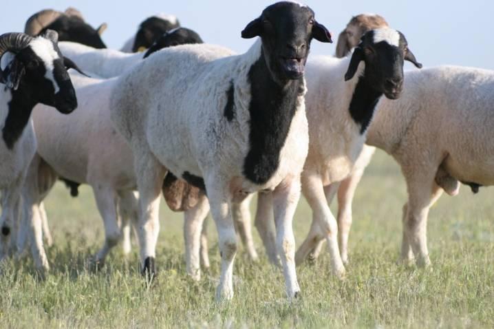 Бараний вес: сколько в среднем весят бараны разных пород