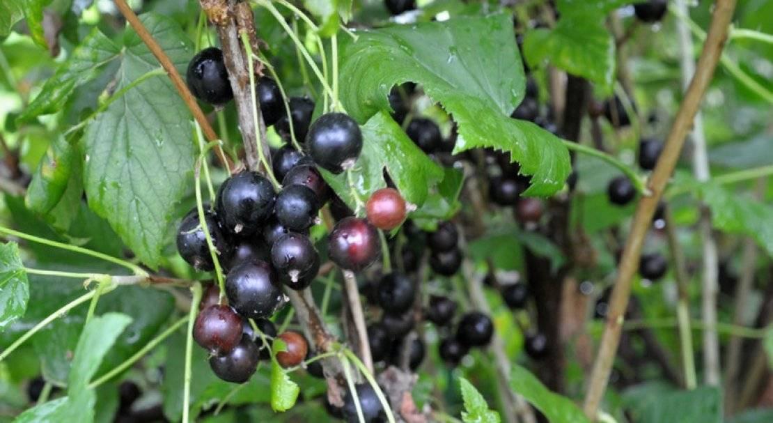Черная смородина лентяй: описание крупноплодного позднеспелого сорта
