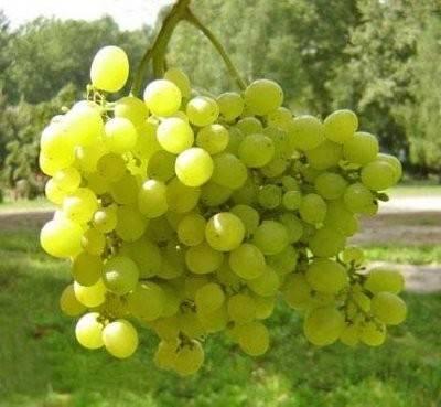 Сорт винограда алёшенькин — выбор для российских условий