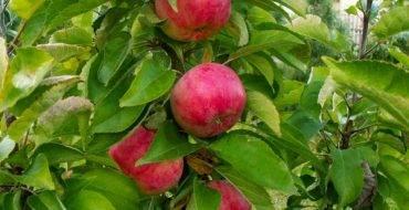 Яблоня имант — лучший зимний сорт, который можно хранить 6–8 месяцев