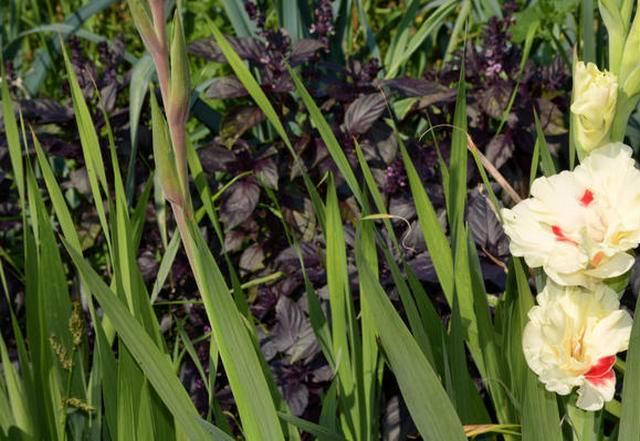 Почему-то пожелтели у гладиолусов листья: как поступить