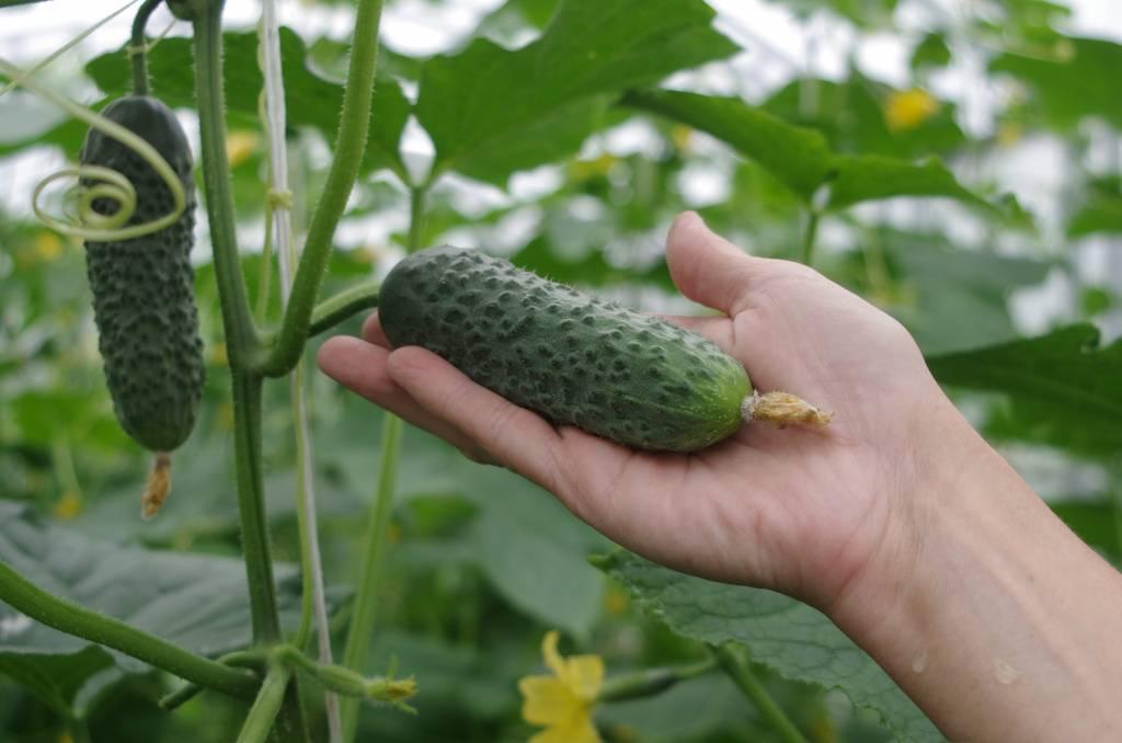 Выбираем лучшие сорта огурцов на 2020 год по описанию и региону выращиванию