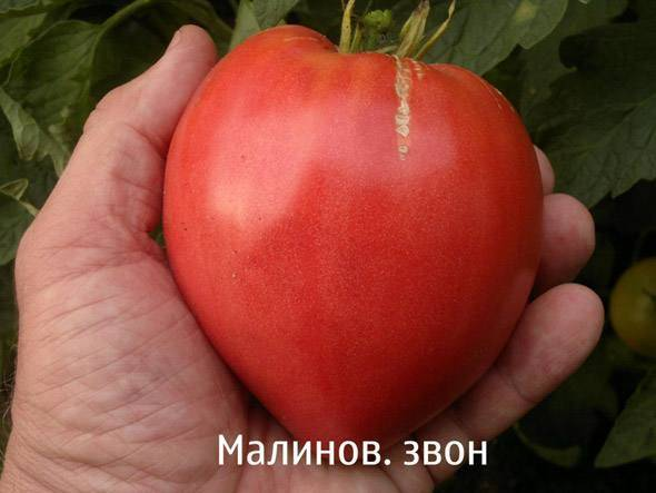 Прекрасный снаружи и вкусный внутри — томат «малиновый звон» : описание сорта и фото