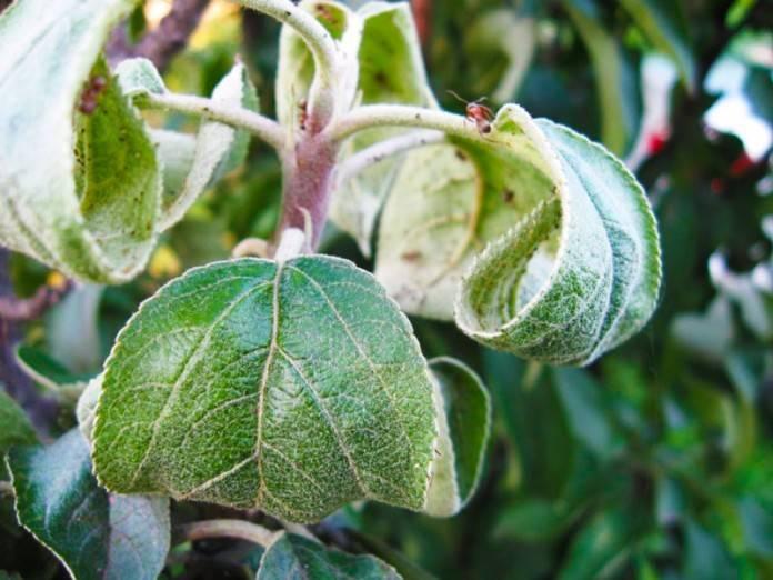 Почему чернеет ботва у картошки: причины и методы лечения