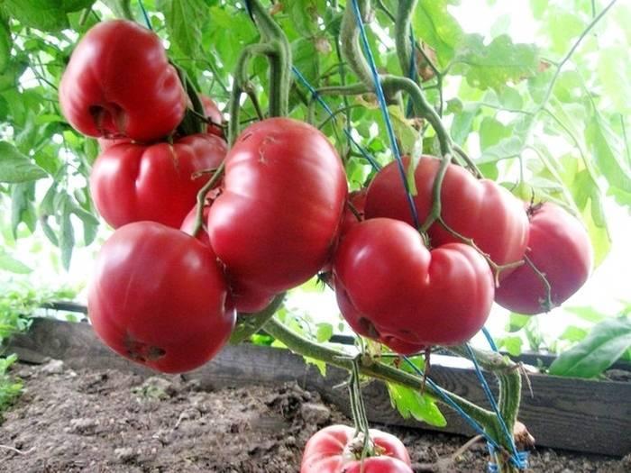 Сорт помидор розовый лидер