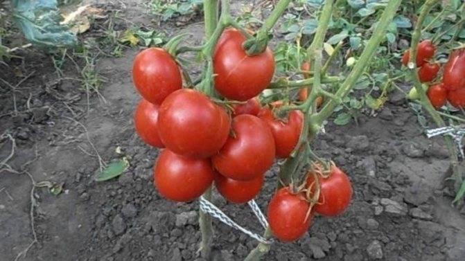 Необычный двухцветный сорт томата «медовый салют»: описание, характеристика, посев на рассаду, подкормка, урожайность, фото, видео и самые распространенные болезни томатов
