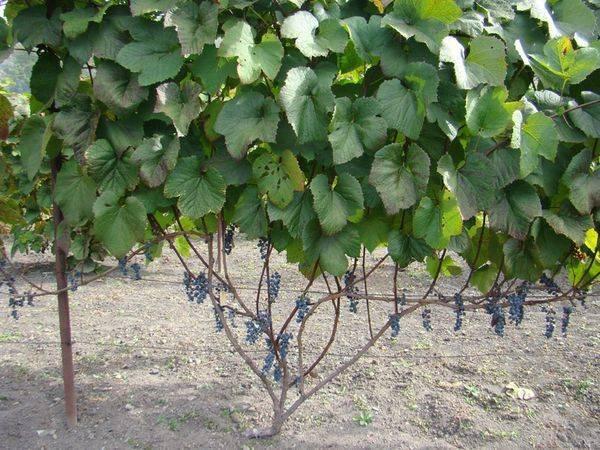 Виноград ромбик: описание и характеристики сорта, выращивание и уход с фото