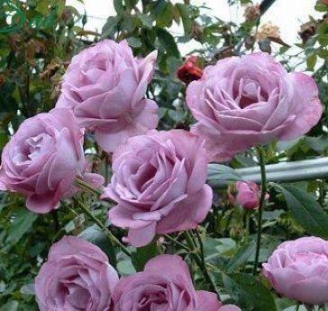 Посадка и уход за чайно-гибридной розой аква