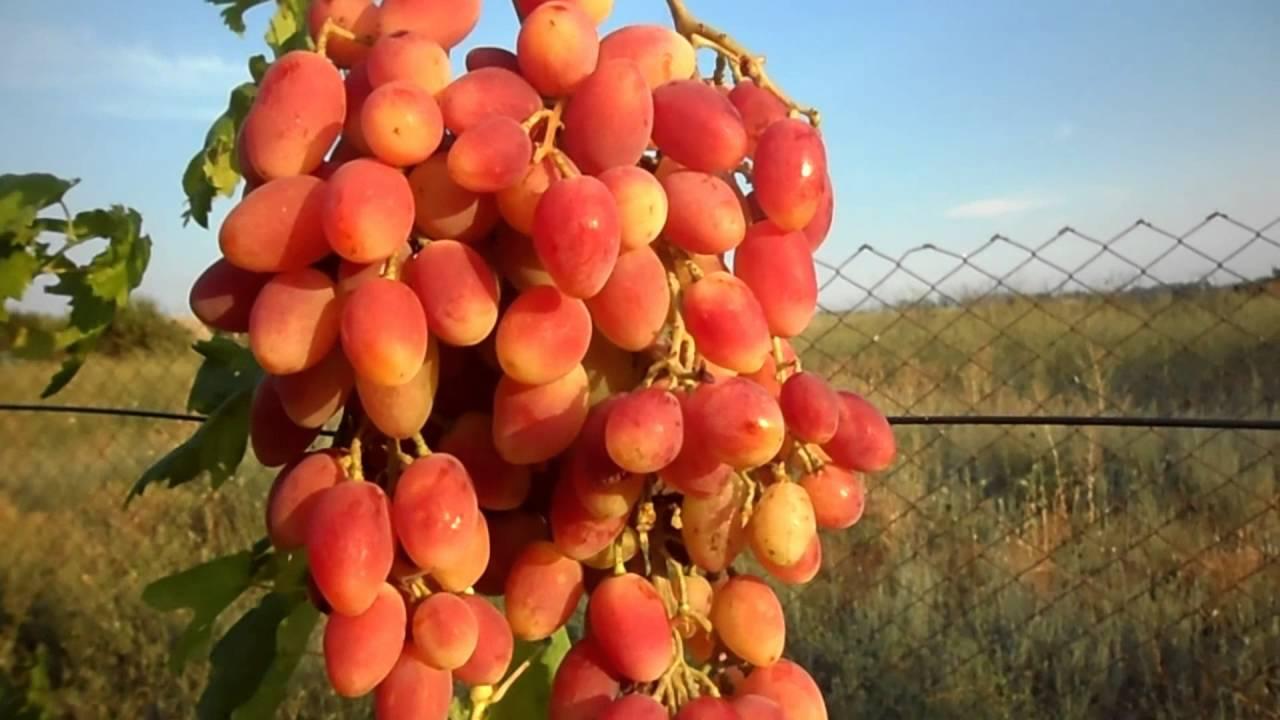 Элитный виноград для северных регионов — сорт «новое столетие»