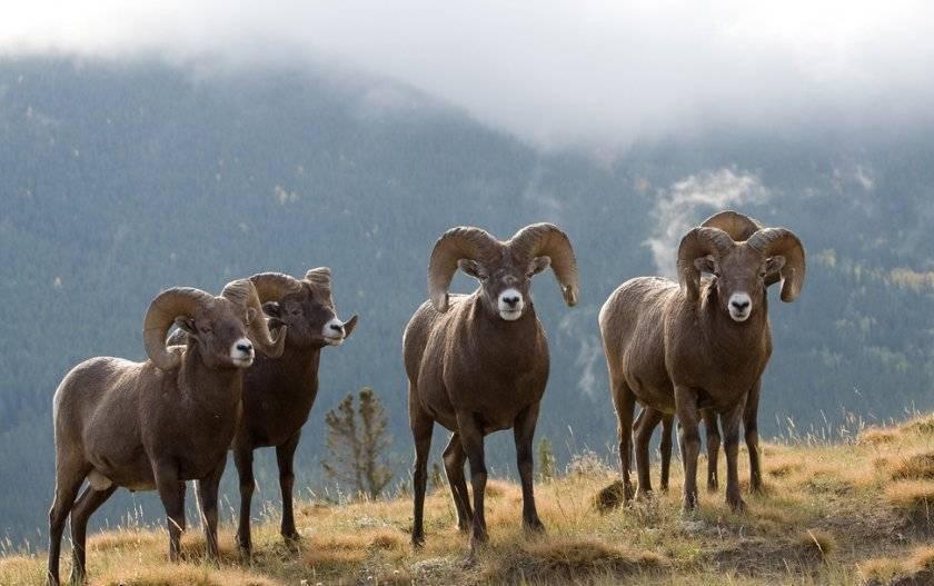 Продолжительность жизни овец и баранов