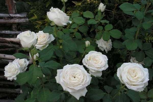 Описание и правила выращивания чайно-гибридной розы сорта Анастасия