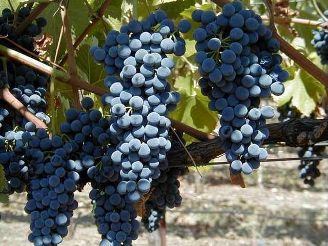 Кардинал — вкусныйсорт винограда калифорнийской селекции