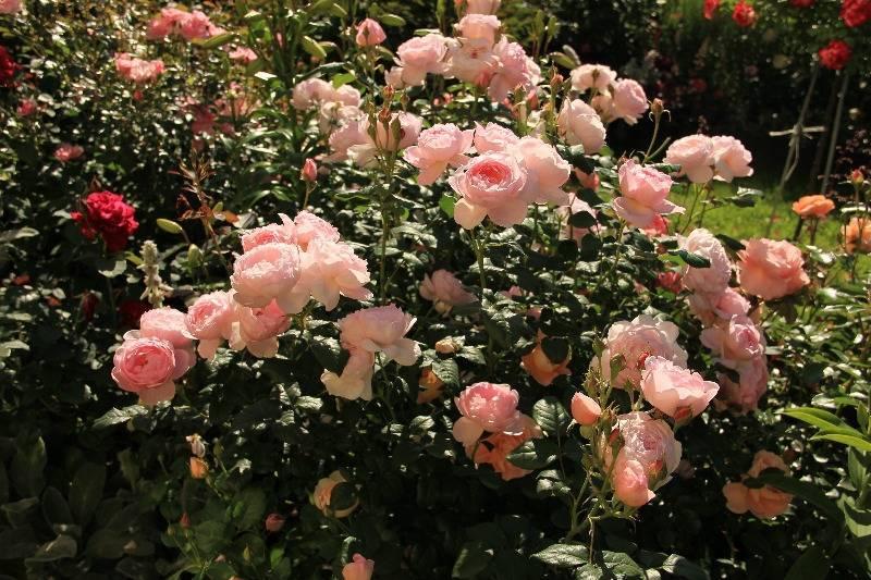 Роза ред наоми (red naomi) — описание голландского сорта