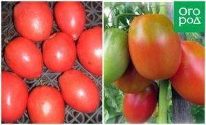 Сорт боец – неприхотливый томат сибирской селекции: описание, характеристики, отзывы садоводов