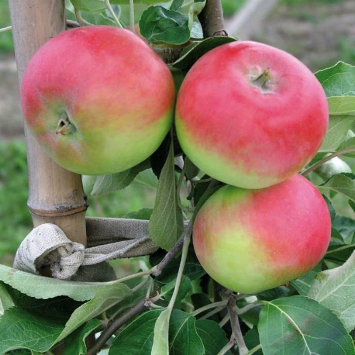 Характеристика яблони летнего сорта эрли женева