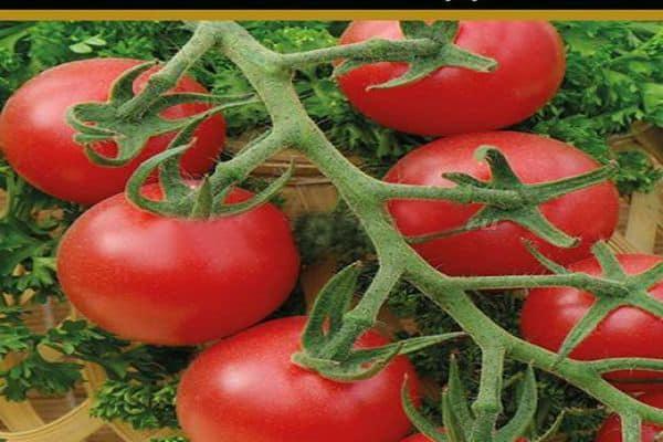 Описание сорта томата Мальвина, условия выращивания и профилактика заболеваний