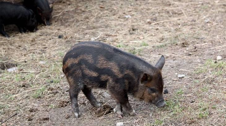 Описание и характеристики породы свиней кармалы, выращивание и разведение