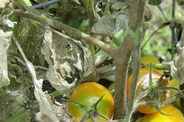 Как бороться с фитофторой на помидорах: простые и эффективные способы