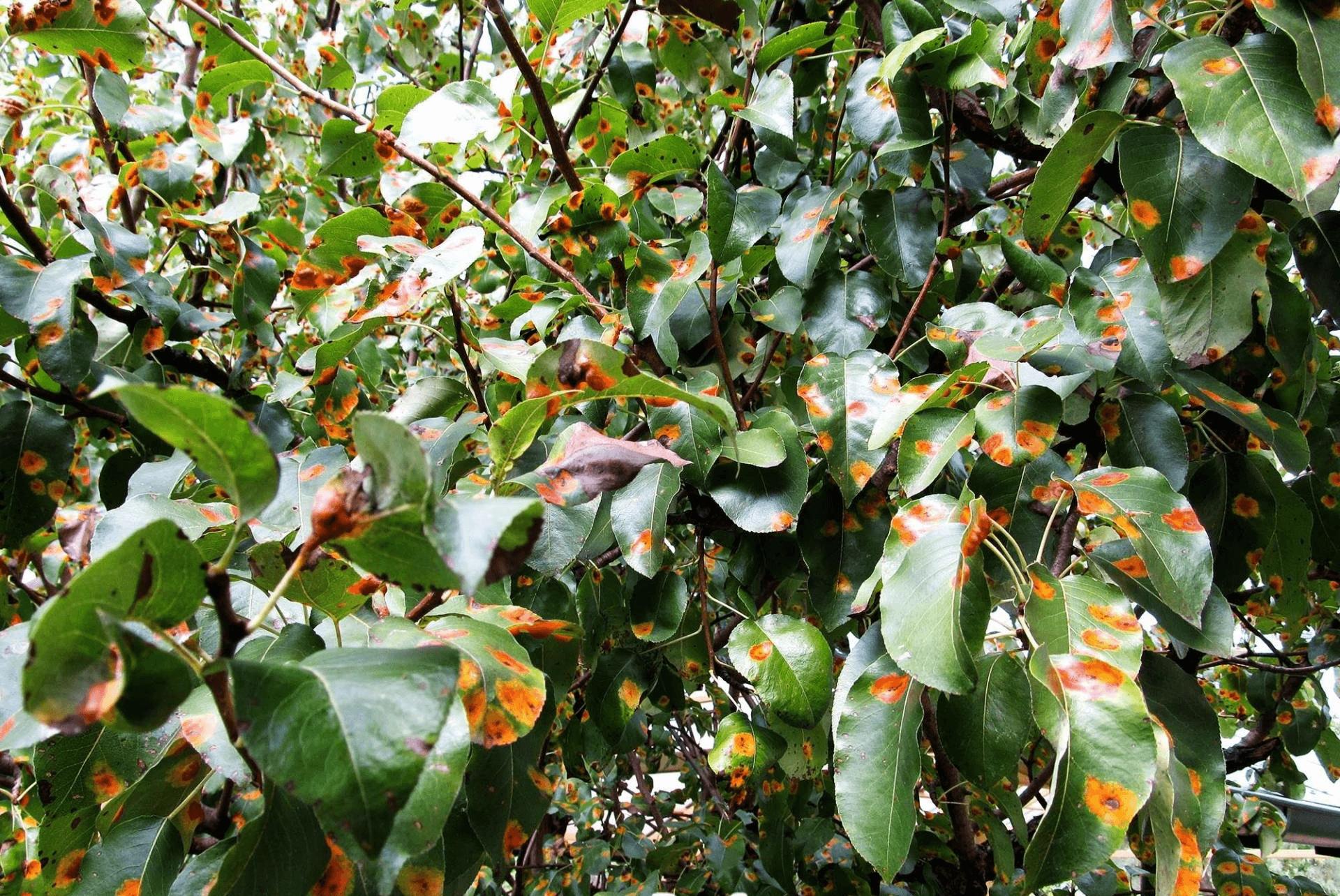 Способы борьбы и лечения болезней яблони