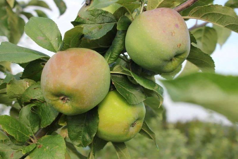 Изучаем сорта яблонь для разных регионов