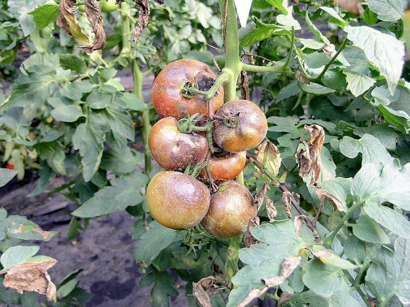 Вершинная гниль томатов в теплице и открытом грунте как бороться эффективно