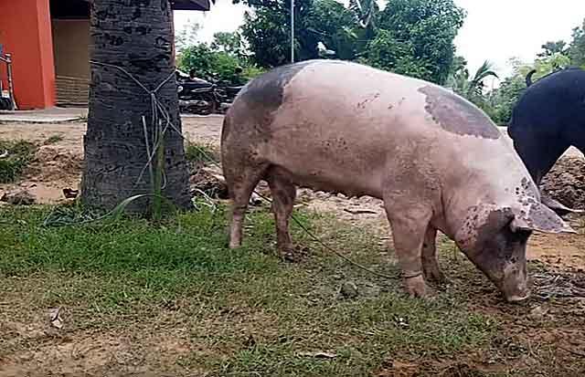 Сколько дней гуляет свинья: признаки половой охоты, особенности и интересные факты