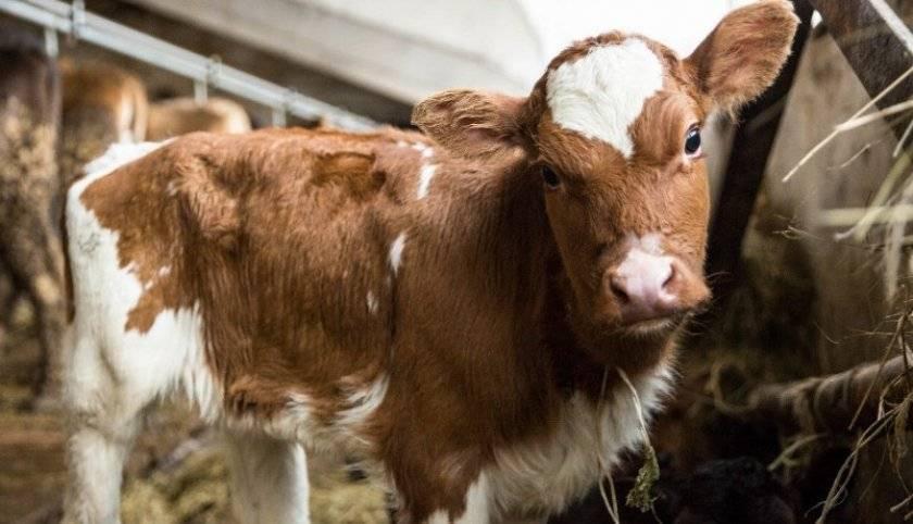 Что делать, если у коровы жидкий стул?
