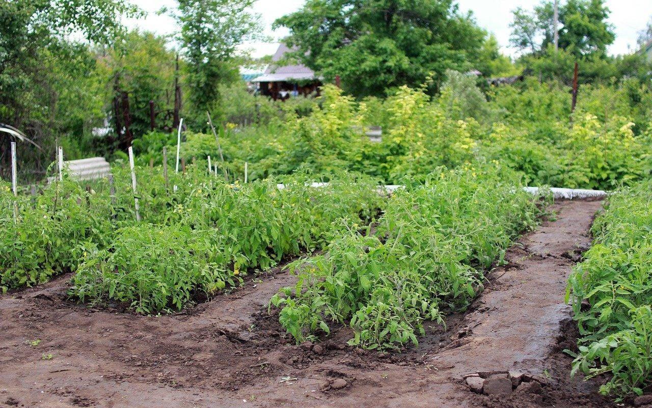 Чем подкормить помидоры весной, летом и осенью