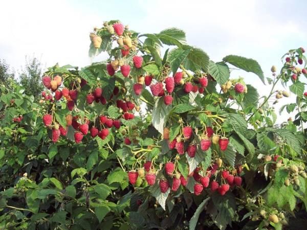 Какие культуры помогут сдержать разрастание кустов малины
