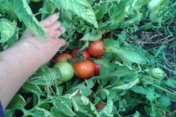 Сорт томата «де барао золотой»: описание, характеристика, посев на рассаду, подкормка, урожайность, фото, видео и самые распространенные болезни томатов
