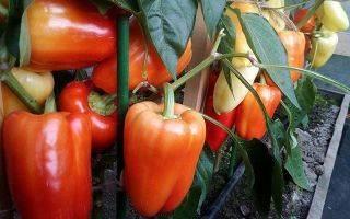 Ультраскороспелые и ранние сорта перцев: топ-20