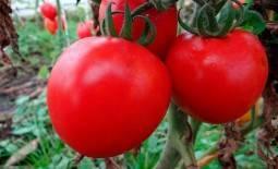 Описание сорта томата баллада и его характеристики