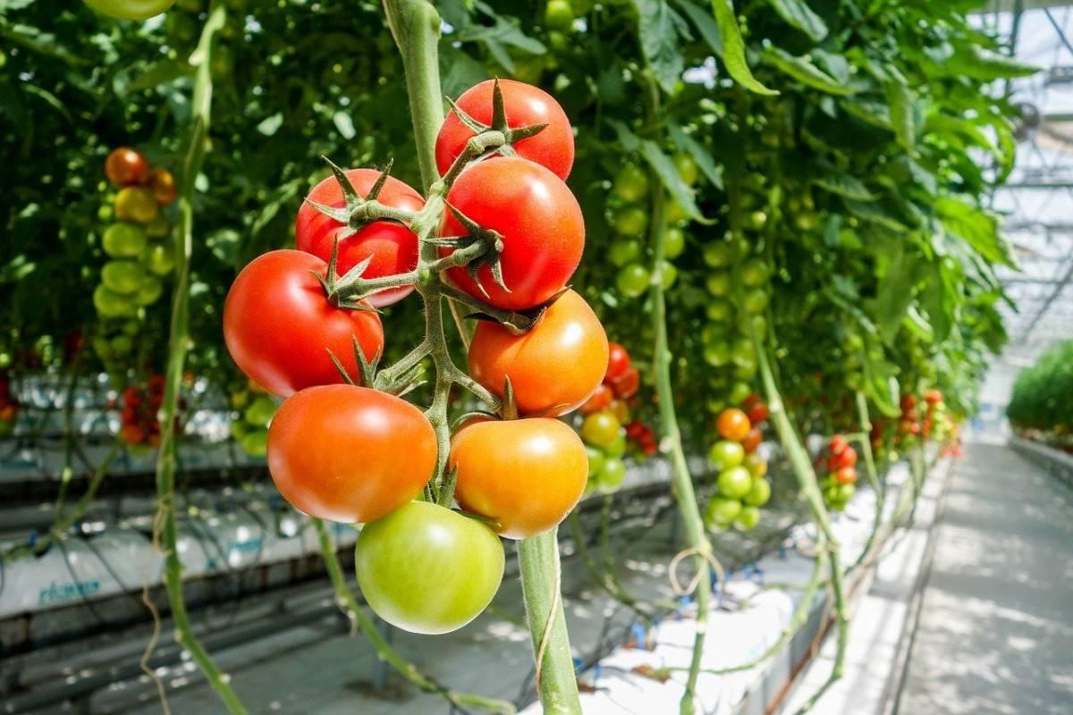 Крупноплодные помидоры (томаты) в теплице. лучшие сорта томатов для открытого грунта