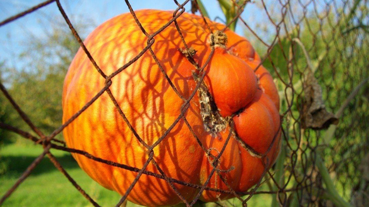 Лечение болезней тыквы в открытом грунте и борьба с вредителями