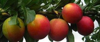Юнга яблоня описание