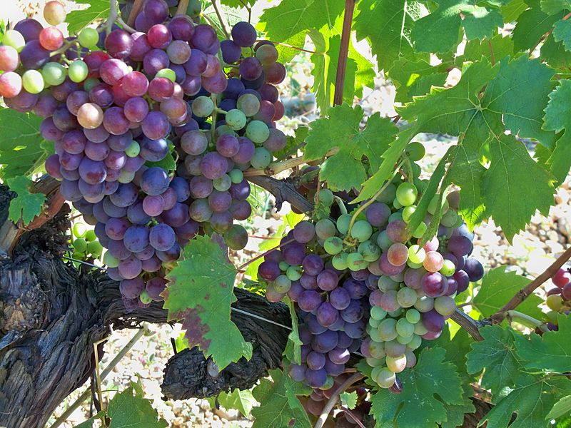 Тукай — высококачественный морозостойкий сорт винограда, плодоносящий даже в сибири