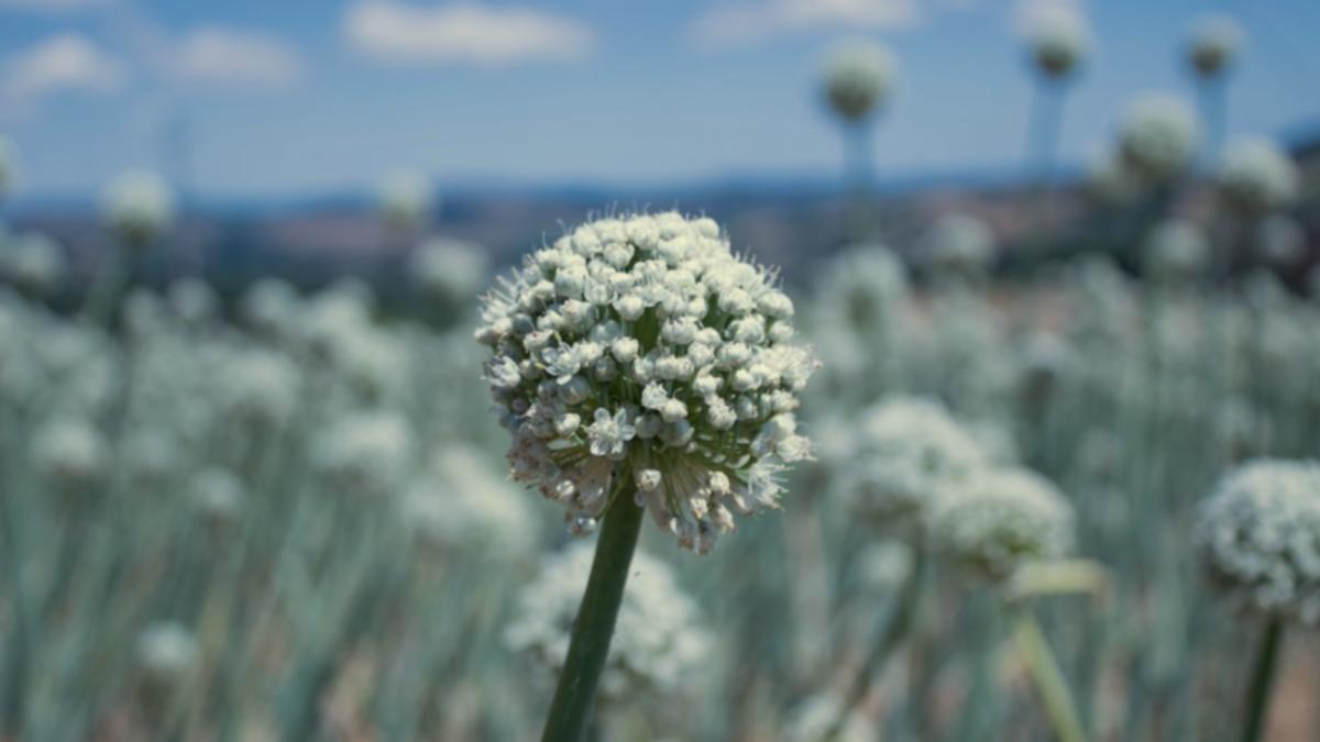 Как посадить и вырастить лук-слизун?