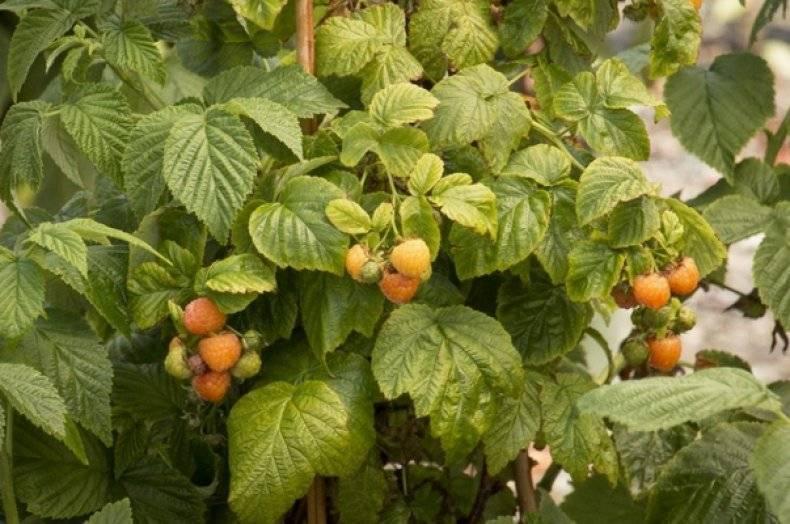 Самые популярные сорта крупноплодной малины
