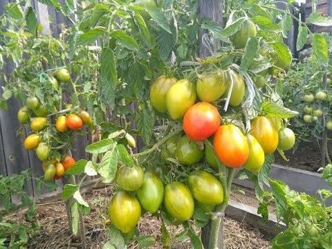 Неприхотливый сорт – томат валентина