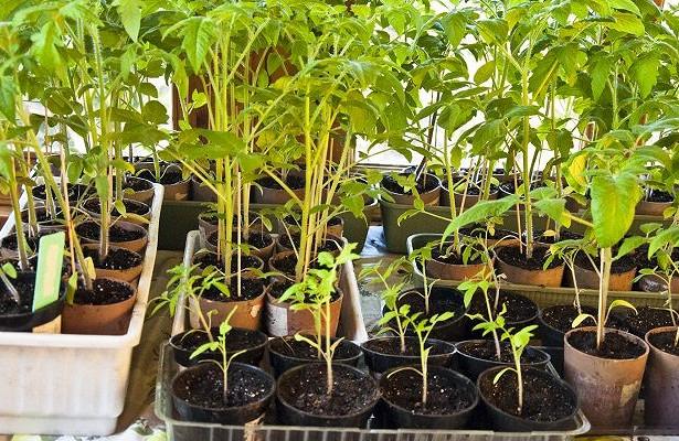 Возможные причины пожелтения листьев у тепличной рассады помидоров