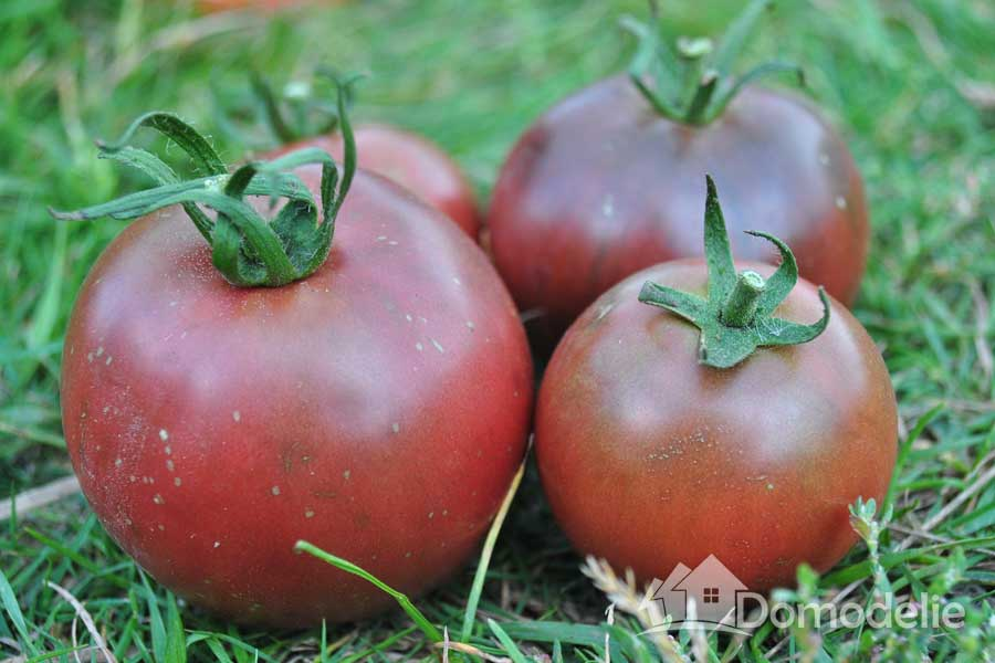 Высокорослый тепличный сорт томата «сосулька красная» с оригинальными плодами: описание, характеристика, посев на рассаду, подкормка, урожайность, фото, видео и самые распространенные болезни томатов