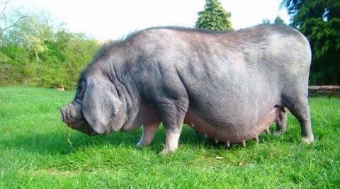 Описание породы китайских свиней Мейшан, условия содержания и разведение